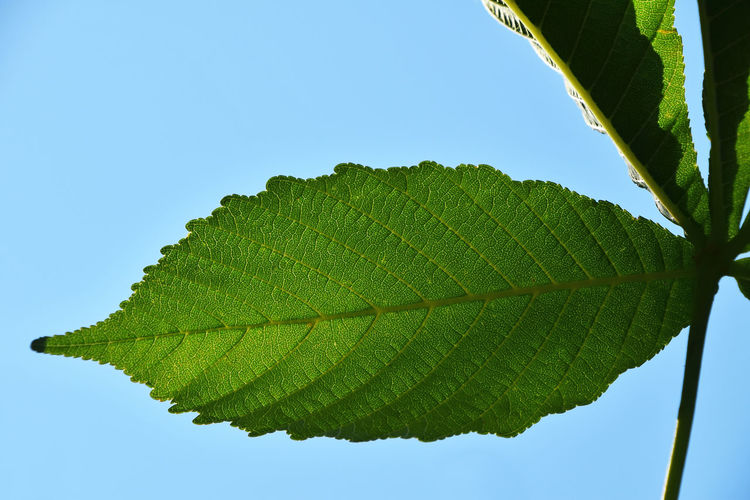 LOW ANGLE VIEW OF LEAVES AGAINST CLEAR SKY