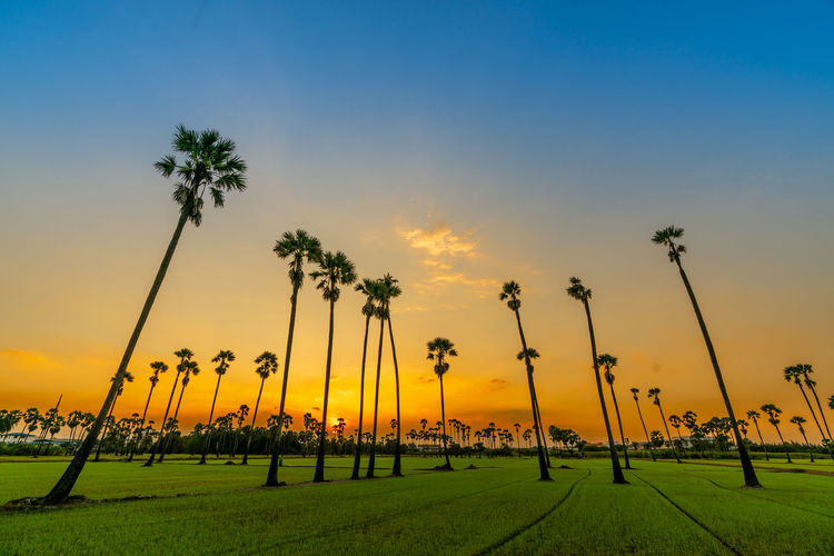 Plant Sunset Sky Palm Tree Tree Beauty In Nature Nature No People Environment