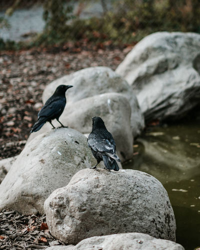 Animal Wildlife Animals In The Wild Bird Animal Animal Themes Vertebrate Rock Solid Rock - Object Group Of Animals Day Perching Focus On Foreground No People Nature Water Outdoors Two Animals Pigeon