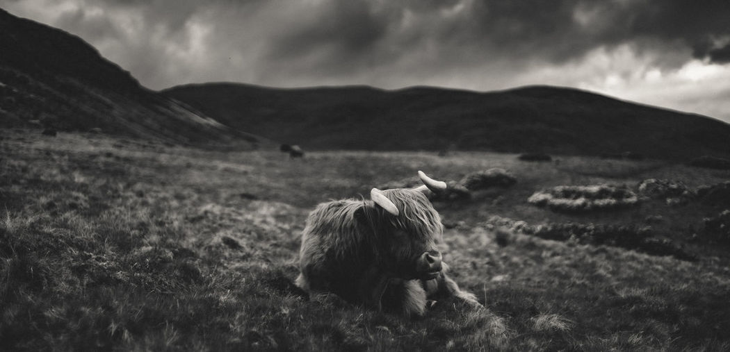 Moody panoramic view of resting highland cattle