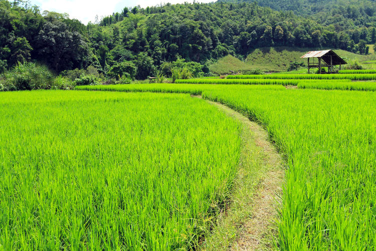 Scenic view of rice field