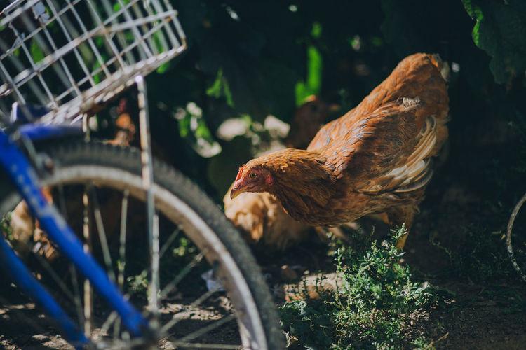 Animal Themes Bird Chicken - Bird Close-up Hen Livestock One Animal Outdoors Sunlight