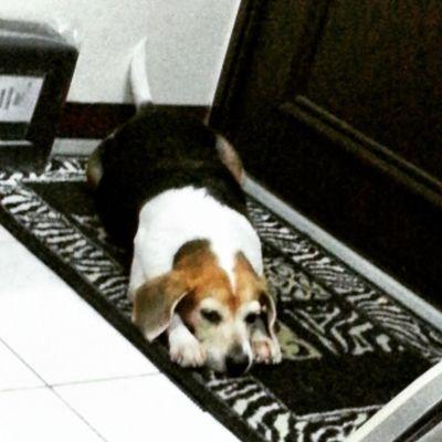 是一種無聊到極點的姿勢Mymilinbaby Beagle