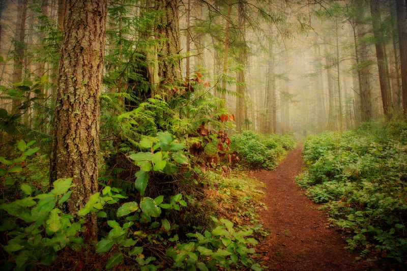 Pacific Northwest Forest. A trail meandering through a forest located in the Lummi Island Heritage Trust protected lands. Firs and cedar trees and the lovely salal bushes make for a pleasant day in the woods. Lummi Island Pacific Northwest  Puget Sound Trees Washington Washington State Beauty In Nature Cedar Environment Evergreen Tree First Eyeem Photo Fog Footpath Forest Land Nature No People No People, Outdoors Plant Scenics - Nature Trail Tree Tree Trunk WoodLand
