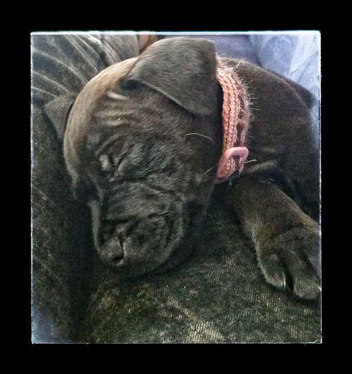 Animal Themes Staffordshire Bull Terrier Unitedkingdom Canveyisland Staff Puppy Lady Domestic Animals Essex Pets