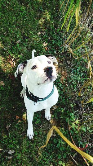 Sammy Playtime White With Black Spots Love My 🐕 Pitbull Mans Best Friend SammyandOnyx Dog