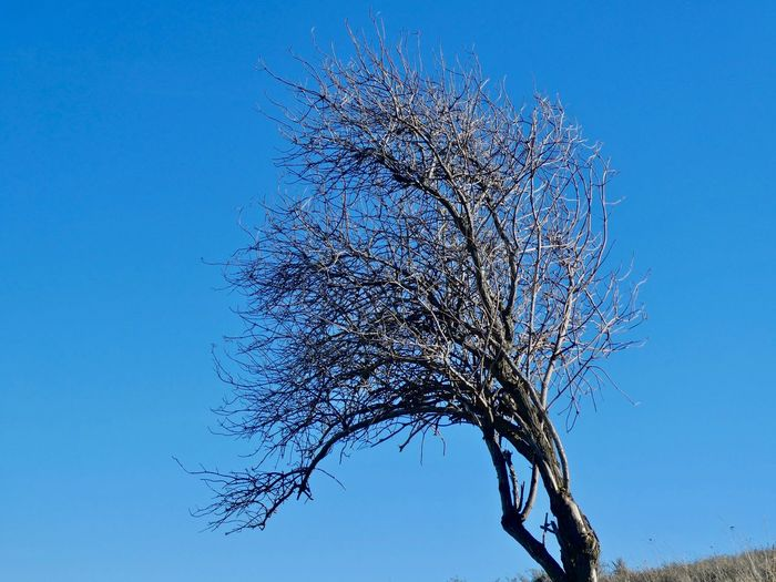 Low angle view of flowering tree against clear blue sky