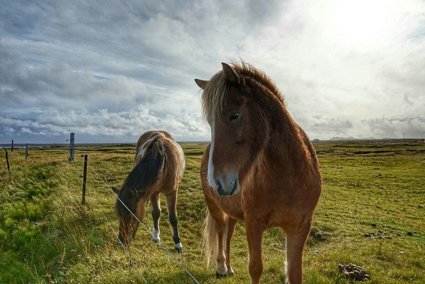 Hanging Out Taking Photos Beautiful Horses Icelandic Horses I Love Horses Autumn Colors Autumn Collection Sky And Clouds