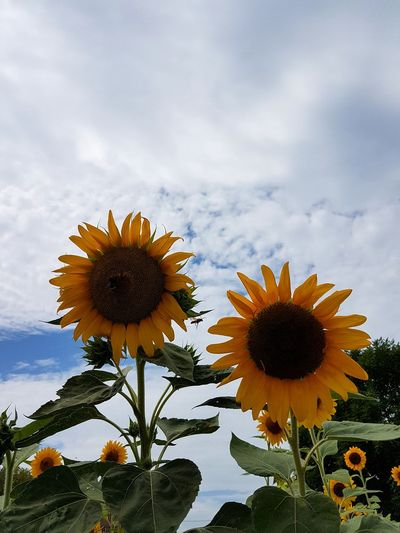 Sunflowers Blue Scenics Outdoors Uncultivated No People Close-up Tranquility Growth Cloud - Sky Yellow Beauty In Nature Sunflower Sky Nature Fragility Petal Flower Head Flower Day Freshness Rural Scene Summer