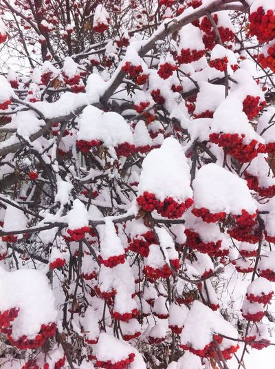 Berries Snow Winter Nature Nature_collection Nature Photography Naturelovers Redberries