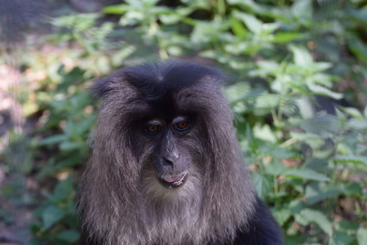 Lion-tailed macaque (Macaca silenus) Lion-tailed Macaque Macaca Silenus Animal Animal Head  Animal Themes Animal Wildlife Animals In The Wild Ape Black Color Close-up Day Focus On Foreground Land Mammal Monkey Nature No People One Animal Outdoors Plant Portrait Primate Vertebrate