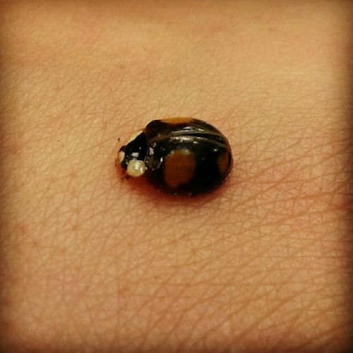 Coccinelle Insect
