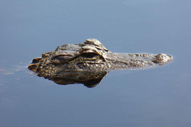 Alligator Florida Animals