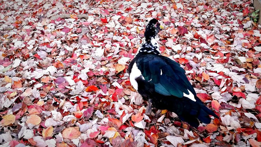 Bird Animal Themes Animals In The Wild High Angle View Animal Wildlife Day One Animal No People Outdoors Nature Duck Autumn Autumn Leaves The EyeEm Collection
