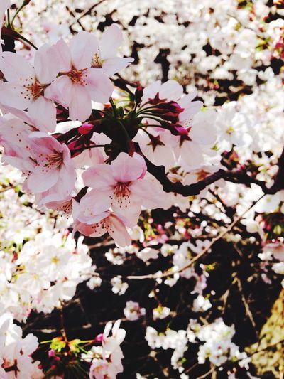 Sakura Taking Photos Beautiful Flowers Cherry Blossoms