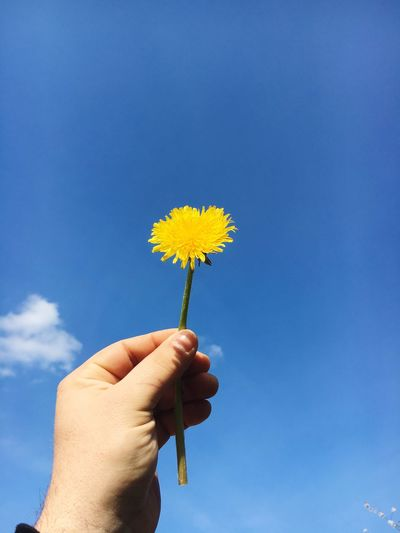 Cropped hand holding yellow flower against blue sky