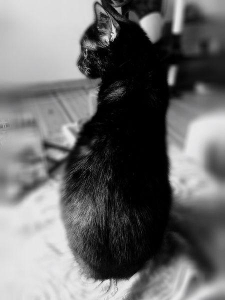 Schwarz-weiß cat Diva beautifull mygirl Pets