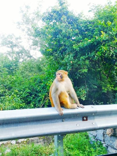 Monkey Golden Monkey Road Trip Greenery Passing By Love It Aminal