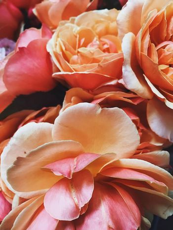 Backgrounds Beauty In Nature Blooming Close-up Day Flower Flower Head Fragility Freshness Full Frame Garden Roses Growth Nature No People Orange Color Outdoors Peach Petal Pink Color Rose - Flower Rosé