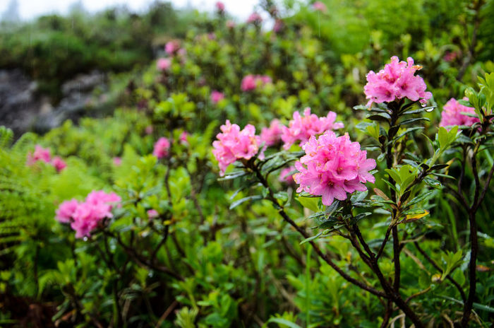 Alpine Rose Alpine Rose Beauty In Nature Blooming Close-up Day Flower Flower Head Focus On Foreground Fragility Freshness Green Color Growth Leaf Nature No People Outdoors Petal Pink Color Plant