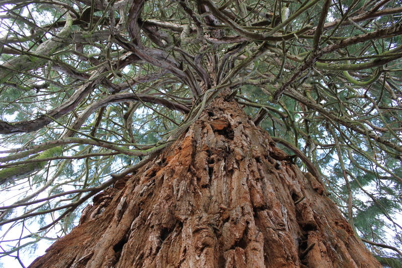 Looking at a giant sequoia in the Scottish Borders Bark Bark Of A Tree Evergreen Tree Giant Sequoia Sequoia Tree Wood Bark Texture