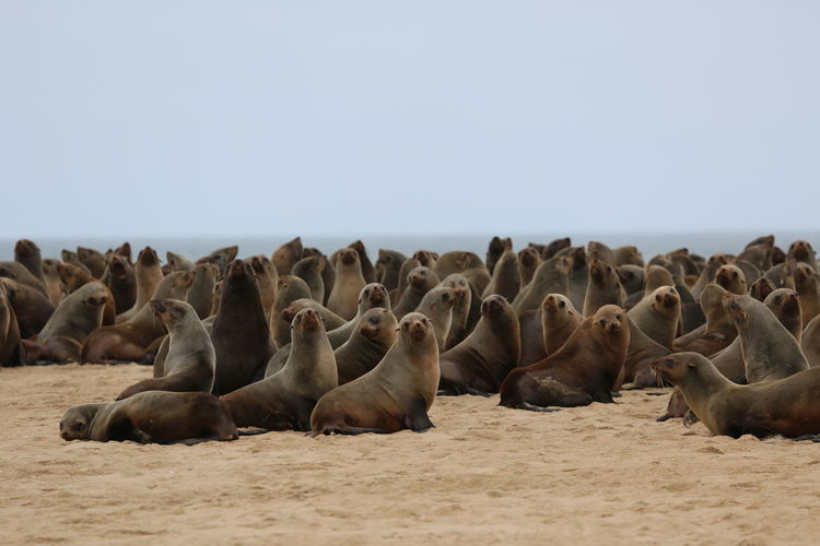 Herd of seals resting on sand at beach