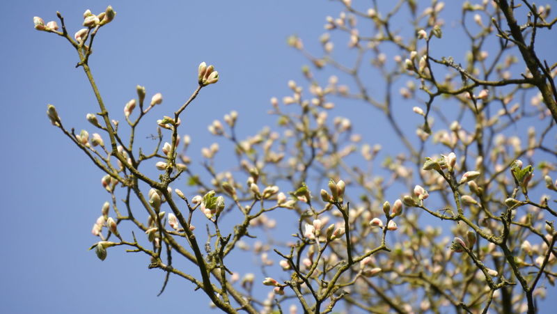 Spring is coming Nature Beauty In Nature Growth Springtime Close-up Flower Blossom Fragility Tree No People Plant Branch Almond Tree Freshness Outdoors Eyem Gallery EyeEm Gallery Selective Focus Clear Blue Sky Light Blue Sky Low Angle View Buds Buds At Branch Light Pink