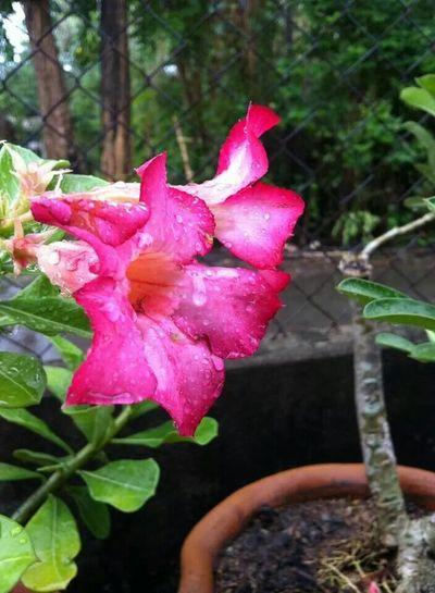 Calachuchi🌸🌸 Flower HDR Photography 3rdEyeEm