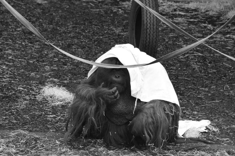 Orangutan Primate Ape Black And White Blackandwhite Photography Dressing Up Monochrome Zoo Mammal Animal Themes Domestic Animals One Animal Outdoors Day