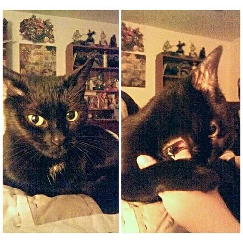 Halle goes from nice kitty to mean kitty in 0.2 seconds flat! Nicekitty Meankitty Kitty Catsofinstagram blackcat crazy