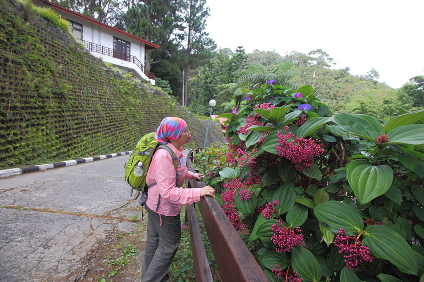 A visitor to Kinabalu National Park admiring the flowers which are thriving due to temperate mountain climate Flowers,Plants & Garden Kinabalu National Park Kundasang Mount Kinabalu Flowers Kinabalu Park Kundasang Sabah Malaysia Malaysia Mountain Climate Ranau Sabah