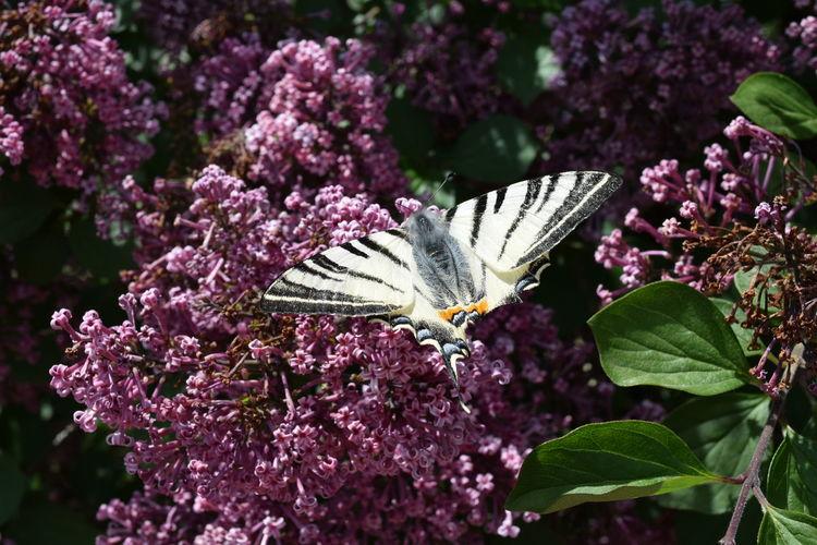Animal Themes Butterfly EyeEm Best Shots EyeEm Gallery EyeEm Nature Lover Flower Lilac Outdoors Petal Pollination Purple Symbiotic Relationship Syringa Wildlife