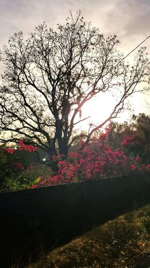 Tree Nature Sky Sunset Growth Flower Bouganvillea No People Scenics Landscape Beauty In Nature Day Outdoors Sunlight