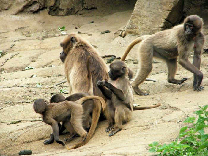 Baboon Baboons Baby Baboon Baby Baboons Brothers And Sisters Edinburgh Zoo Family Gelada Gelada Baboon Gelada Baboons Mother And Child Nature Nature Photography Wildlife & Nature Wildlife Photography
