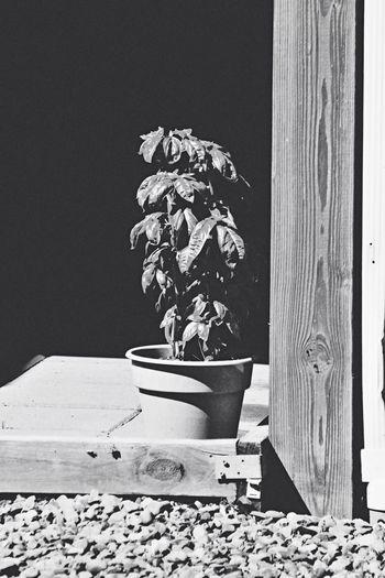 Back porch basil Wabi-sabi Black & White