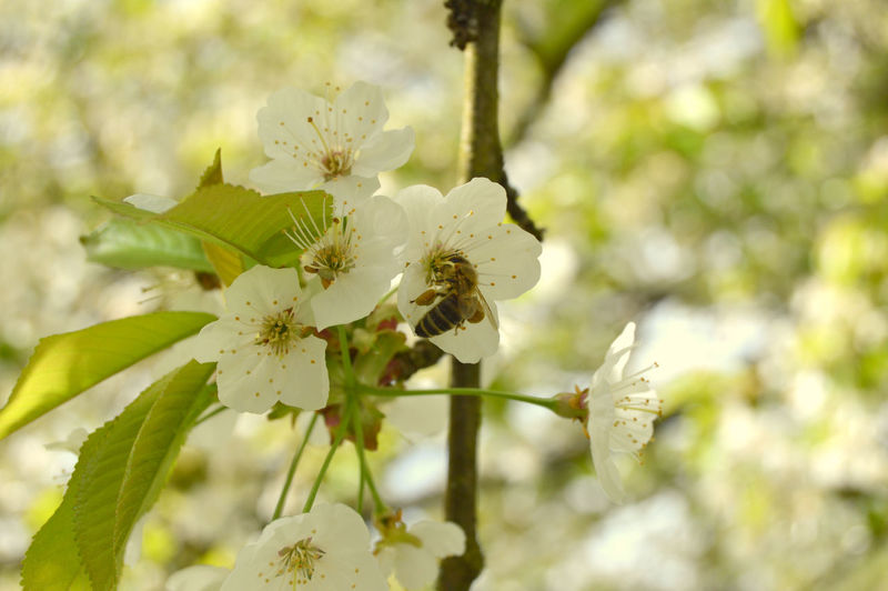 Cherry Blossoms Animal Themes Beauty In Nature Bee Blossom Botany Branch Cherry Tree Close-up Day Flower Flower Head Fragility Freshness Growth Nature No People Orchard Outdoors Plant Selective Focus Springtime Stamen Tree White Color