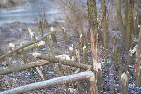 Austria Austria Sinabelkirchen Beauty In Nature Beaver Beaver Work Close-up Day Nature No People Outdoors Sinabelkirchen Tree Winter