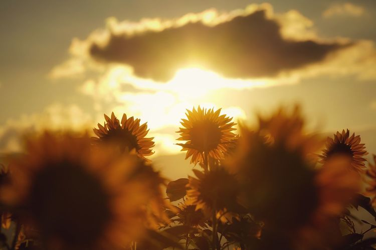 Close-up of yellow flowering plants against sunset sky
