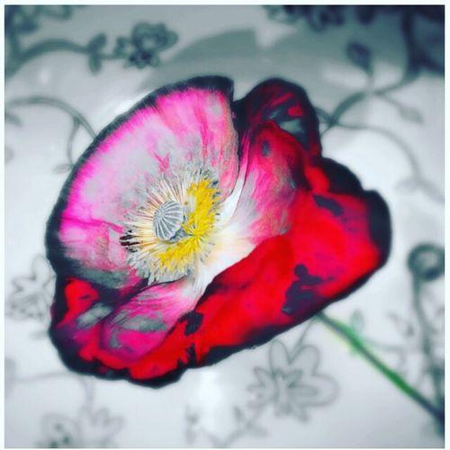 Poppy Love Poppy Flowers Vikki Bradley O'Keefe Art