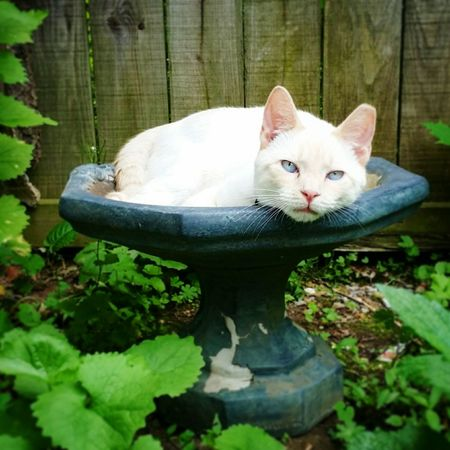 "What is this ""birdbath"" of which you speak? Relaxing Siamese Siamese Cat Flamepoint Blue Eyes Birdbath Garden Secret Garden Cats White Cat"