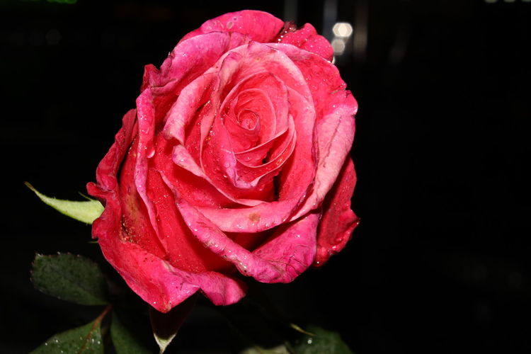 Beauty In Nature Close-up Flower Flower Gift Flower Head No People Plant Rose - Flower