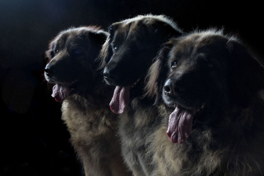 Dogs Happy Leonberger Leonberger Dog Love Low Key Sisters Animal Animal Head  Animal Themes Animals Big Dogs Close-up Dog Domestic Domestic Animals Ladys Mouth Mouth Open No People Pets Sweet Three Dogs Together Triplets