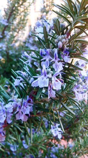 Rosemary Flowers Rosemary HerbNature Photography Beauty In Nature Flowers Greenthumb EyeEm Nature Lover Foodobsession