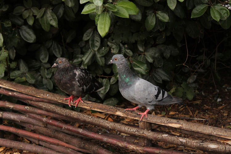 Close-up of pigeons perching on wood