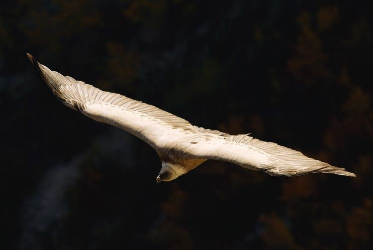 Close-up of vulture flying