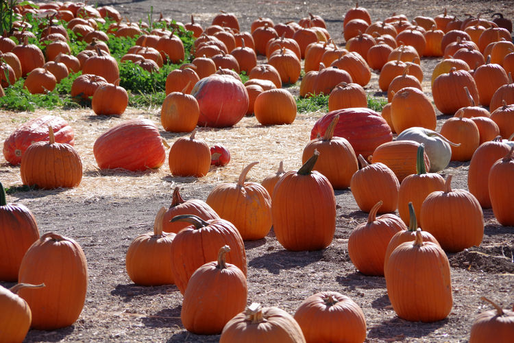 View of pumpkins on field