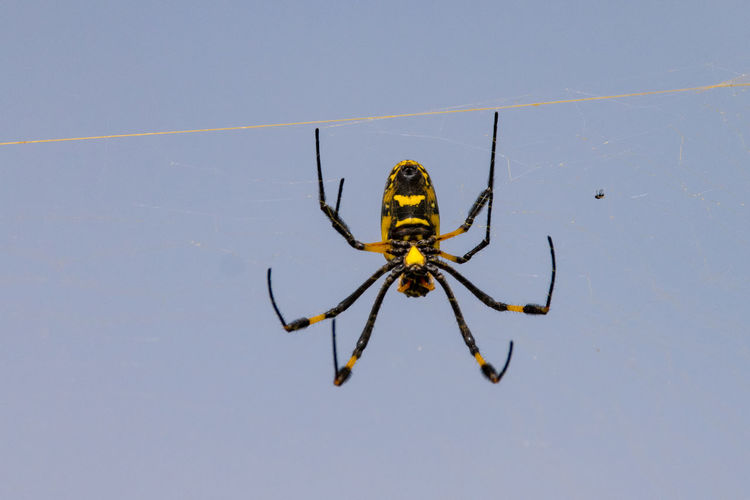 Golden Orb Spider Golden Orb Weaver Spider Orb Spider Spider Animal Leg Animal Themes Animal Wildlife Animals In The Wild Close-up Day Golden Orb Spiders Insect Nature No People One Animal Outdoors Spider Spider Web Spiderweb