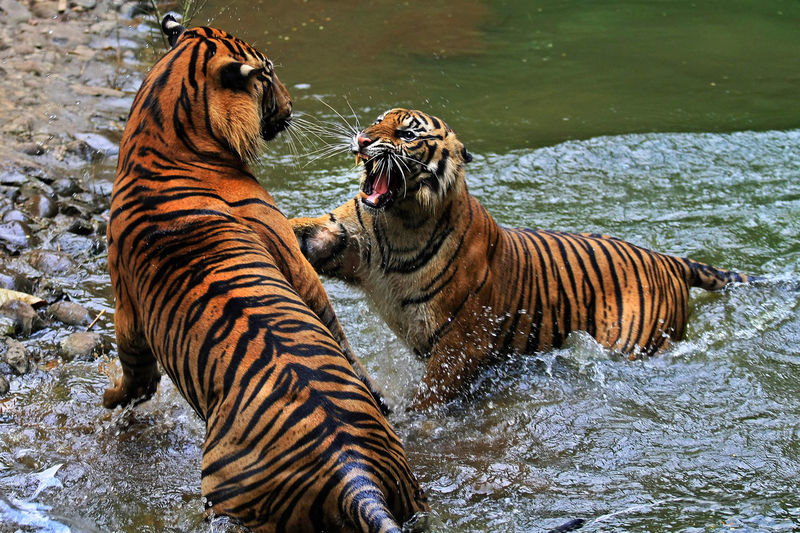 Tigers in water