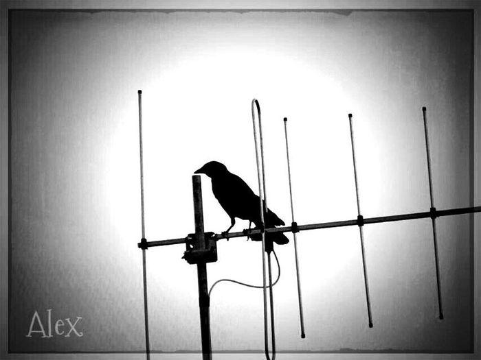 The Raven II The Raven Monochrome Black&white Bw_collection