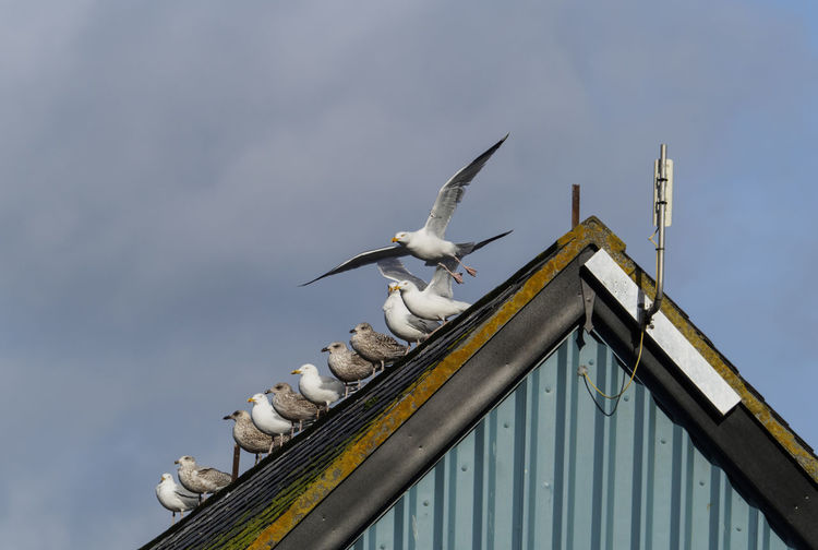 Seagulls wait on a roof in Mevagissey harbour Cornwall Animal Wildlife Animals In The Wild Bird Bird In Flight Flying Motion Perching Roof Seagull